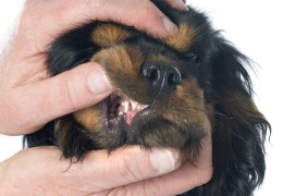 Retained Deciduous Canine Teeth